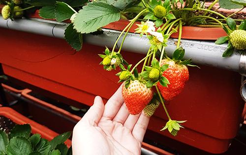 白石湖草莓季 採草莓