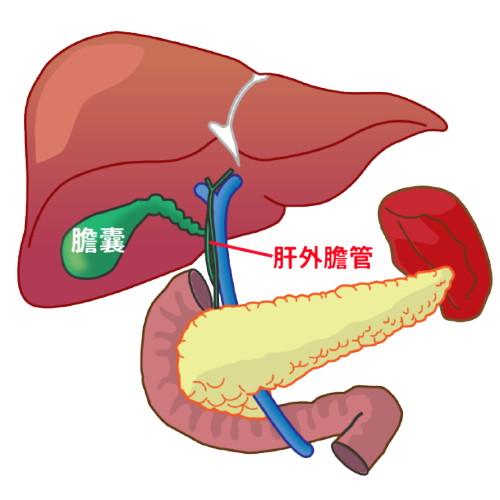 肝外膽管位置示意圖