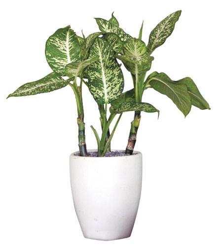 噴雪黛粉葉,能減少二氧化碳,提供有氧環境。