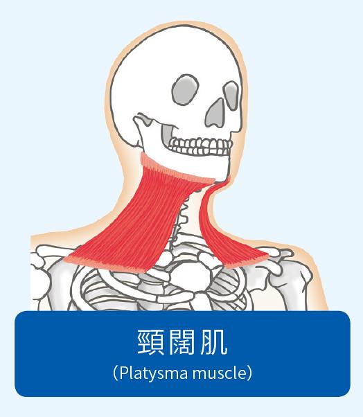 頸闊肌示意圖