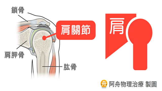 肩關節的接觸面積遠比髖關節小許多,因此天生就比髖關節來得不穩定。