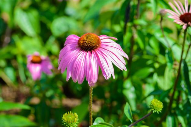 紫錐花強健飲