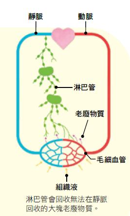 淋巴管內有帶著養分及老廢物質的淋巴液流動